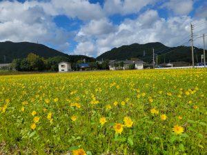 稲光のひまわり畑